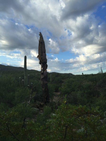 Saguaro skeleton.