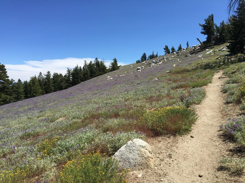 Singletrack through a wildflower field