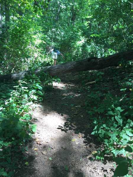 The downed tree towards the end of the trail.