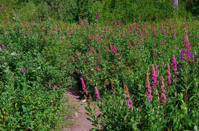 Wildflowers on the trail around Burnt Lake. Photo by Gene Blick.