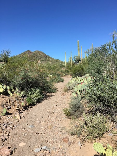 The eastern portion of the Coyote Pass Trail is in a narrow wash.