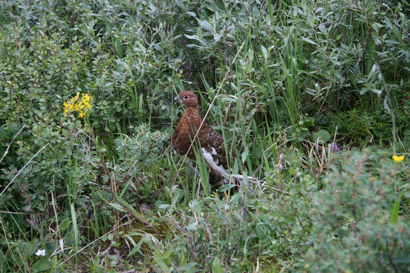 Grouse off the Savage Canyon Loop Trail