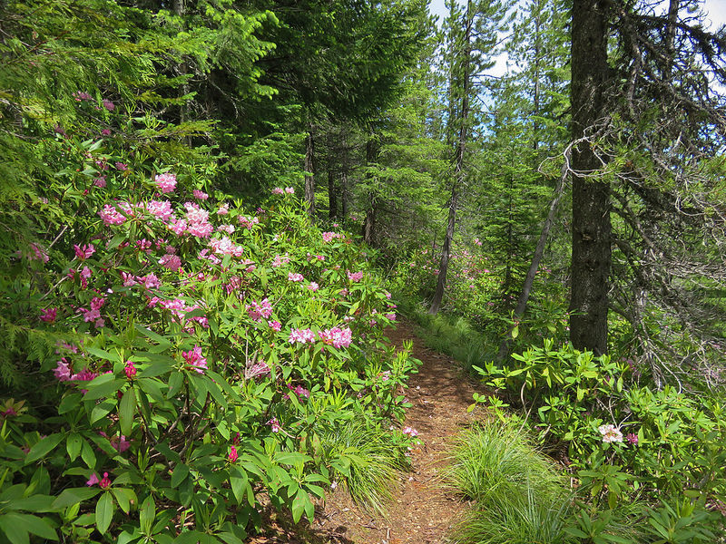 Cast Creek Trail has great rhodies blooming in early summer.  Photo by Wanderingyuncks.