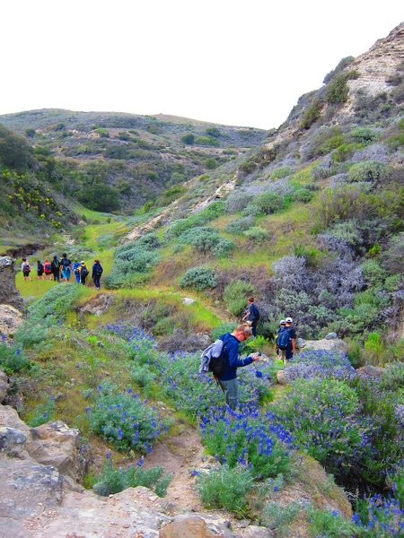 Santa Rosa Isl: Cherry Canyon singletrack. Lupine and hikers wind their way down Windmill Canyon.
