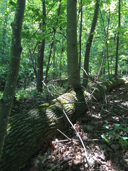 This fallen tree hasn't given up! The branches have grown straight up from the trunk on the forest floor to become new trees!