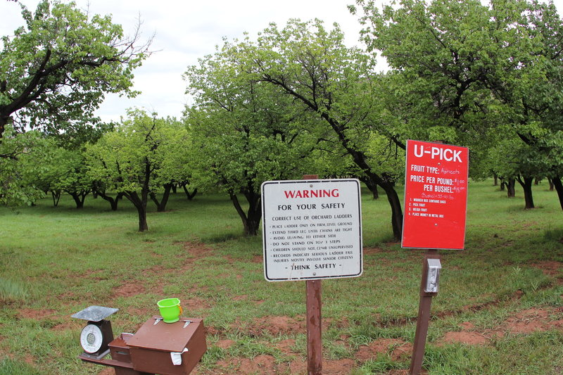 Apricot orchards.