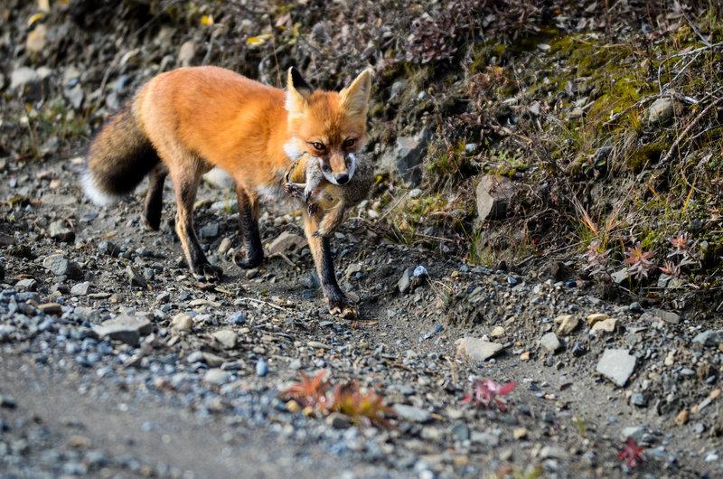 Hungry fox.