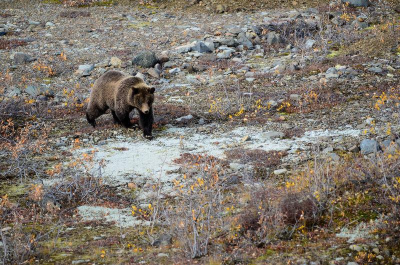 Bear in a dry stream.