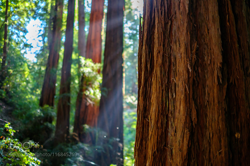 Sunlight filtering in the redwoods.