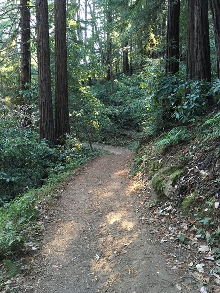 Tie Camp Trail through the redwoods.