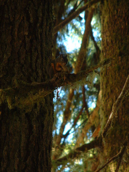 Squirrel in the Hoh Rainforest.