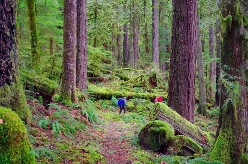 The large trees, moss carpet and ferns depict an old growth forest. Photo by Gene Blick.
