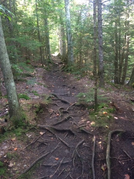 Roots covering portion of trail.