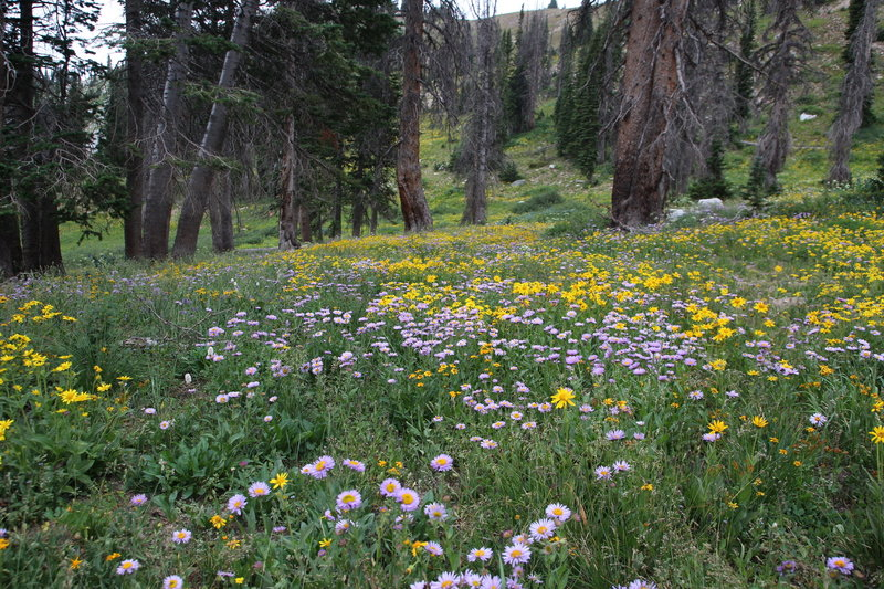 Flower-filled meadow on the Medicine Bow Peak Trail.