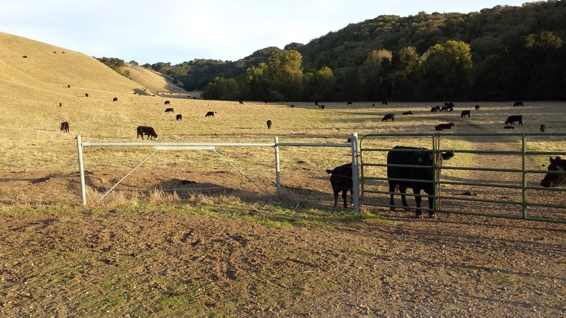 Valley Trail Junction with some friendly cows.