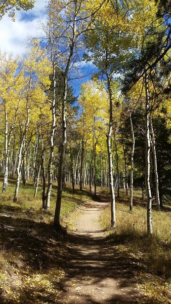 Aspen grove on Mason Creek Trail.