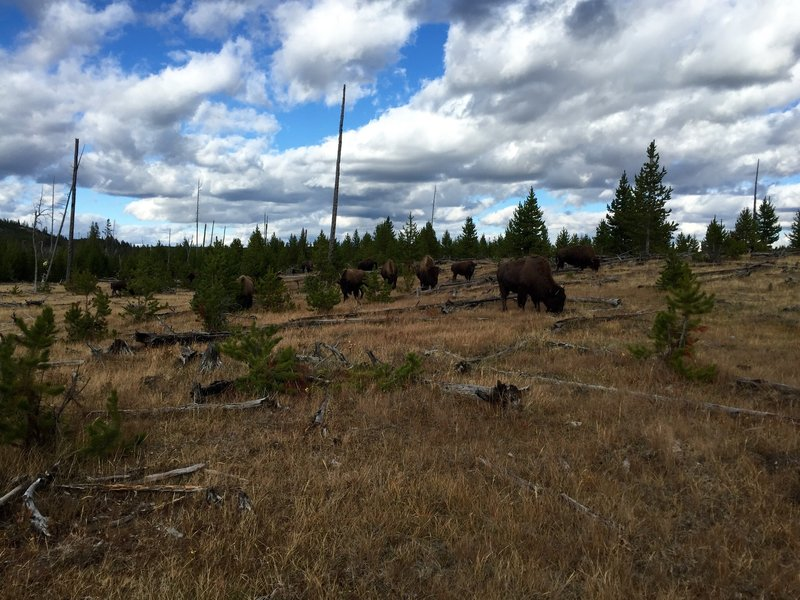 A herd of bison grazing on the Sentinel Meadows Trail.