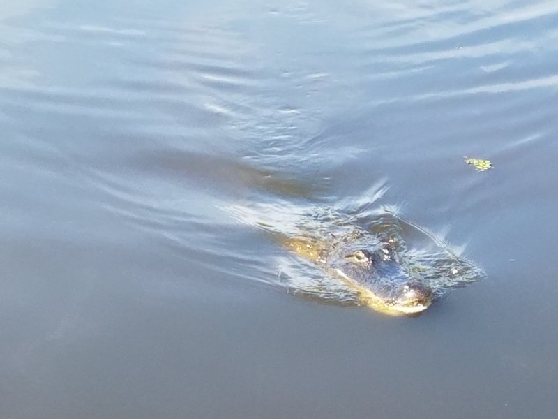 One of the local alligators frequenting the boardwalk.