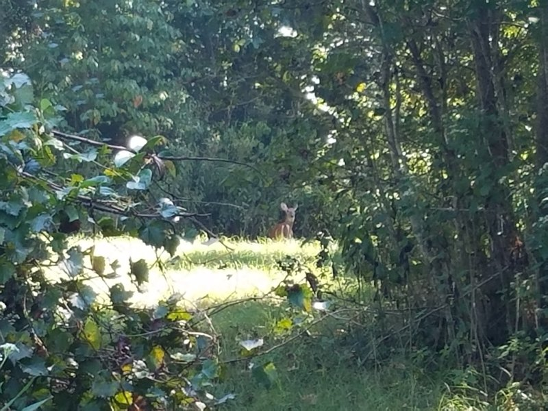 """Deer spotting at the first """"T"""" intersection of the Fountainbleau Trail Loop."""