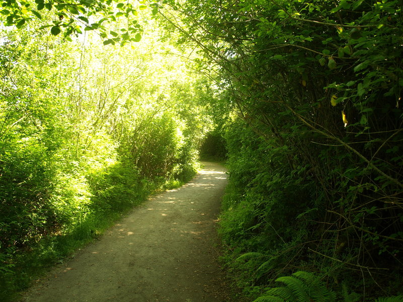 Dense brush forms a tunnel over a lower portion of the North Beach Trail.