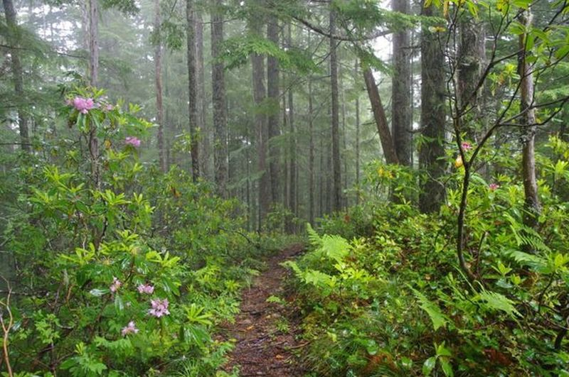 Walking through the rhododendron forest on the ridgeline of Eagle Creek Cutoff. Photo by John Sparks.