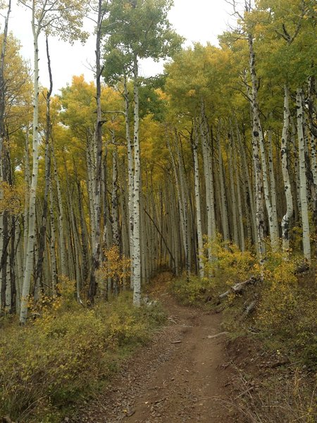 Into the aspens.