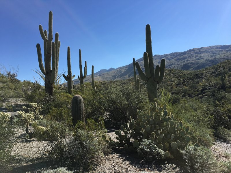 Saguaro, prickly pear, and cholla cacti along the Cactus Forest Trail with Rincon Mountains in the background.
