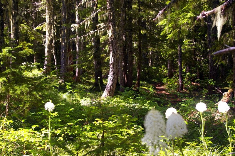 Beargrass blooms in June on the Hidden Lake Trail.  Photo by Gene Blick