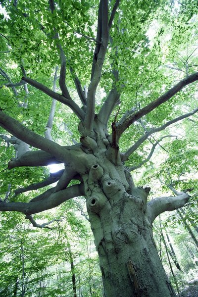 Hobbit Tree.