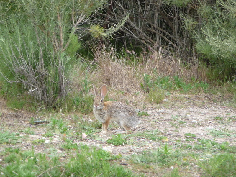Rabbit off the El Moro Canyon Trail.