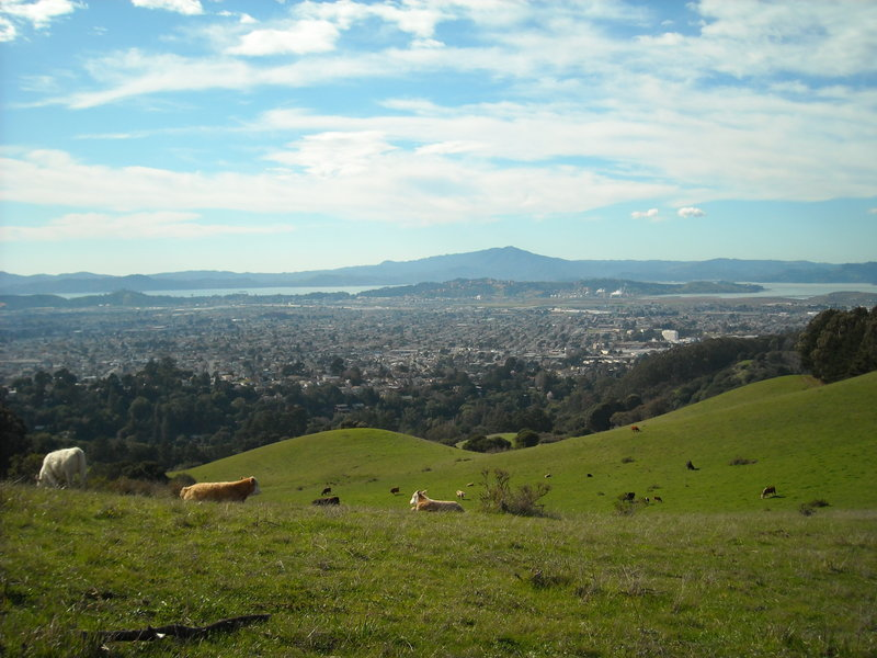 Wildcat Canyon - Cows