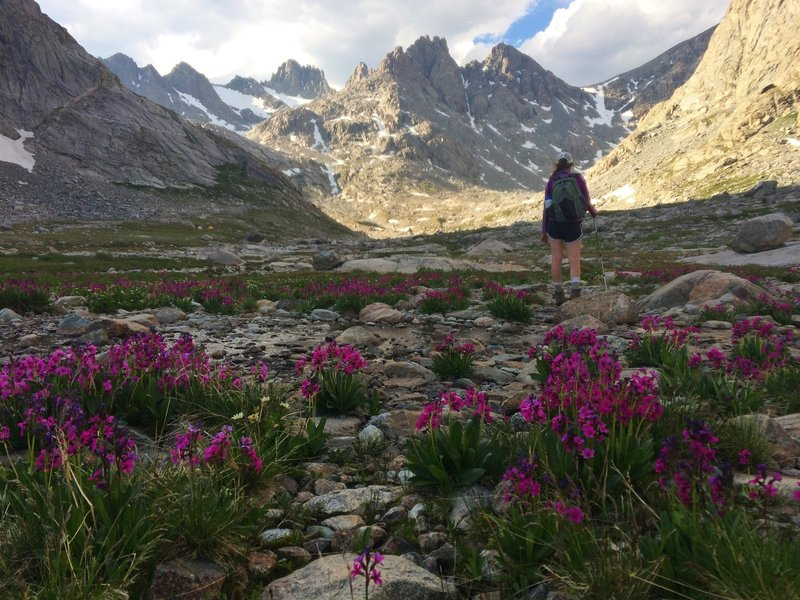 Parry's Primrose blankets the valley in upper Titcomb Basin.