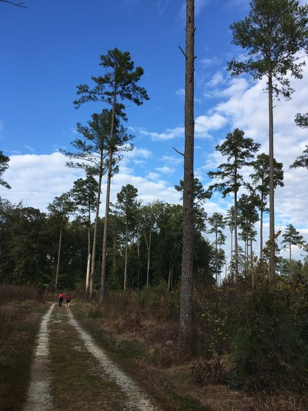 Loblolly pine.