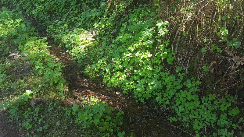 Greenery accompanies the Wahkeena Trail!