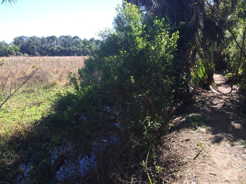 This narrow shared biking/hiking trail sits on a berm dividing pastures from wet flatwoods and cypress strand.