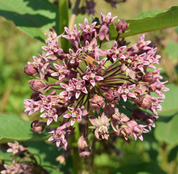 Common Milkweed in bloom along the trail.