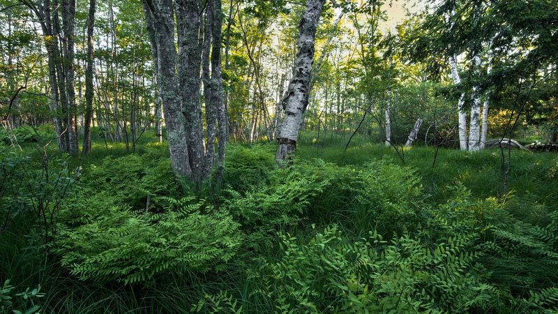 Wild gardens of Acadia.