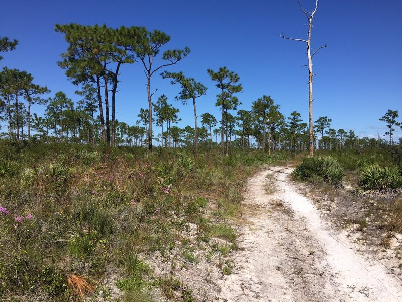 Open grassy forest of longleaf pine.
