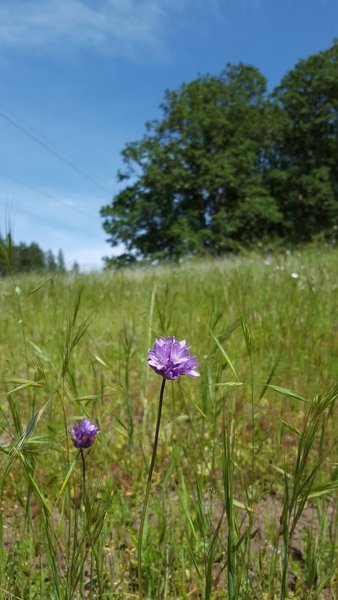 Brodiaea blooms dot the trail in the spring and early summer.