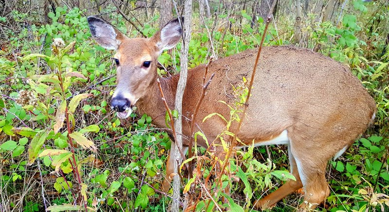 Just off the trail southwest of Bridge 2. An unexpected autumn encounter with a doe too busy eating to flee.