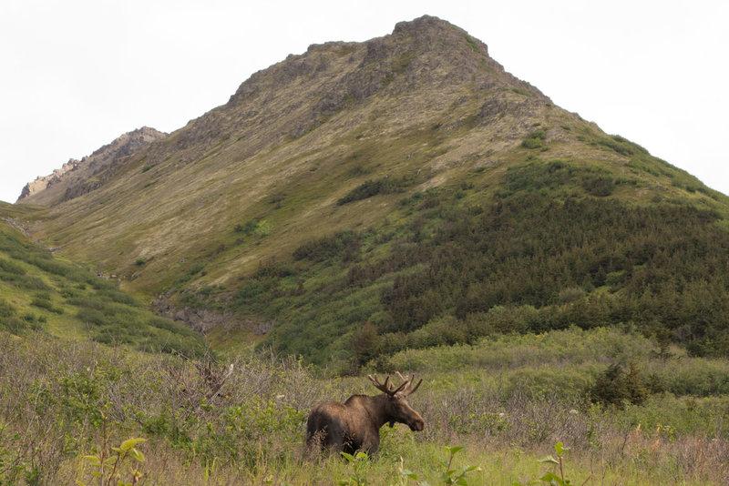 Moose below O'Malley Ridge.