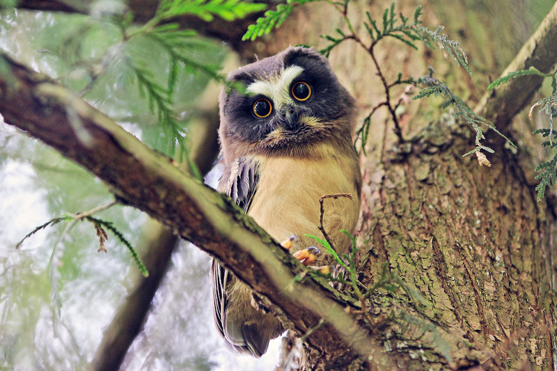 Saw whet owl resting among the trees at Tryon.