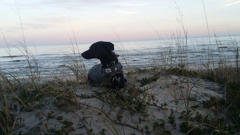 My dog on a big sand dune near the Ice Age Trail.