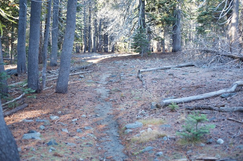 The narrow trail works its way through a pine forest.