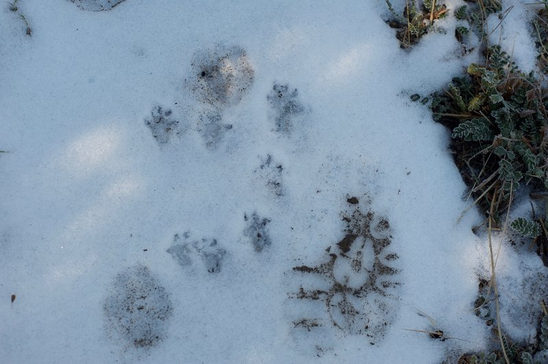 Animals and humans share the trail, which can be easily seen in the winter time.