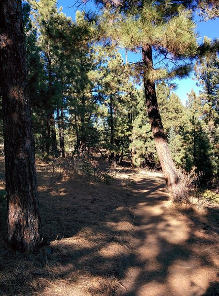 Spaced-out pine shades the ever-steepening singletrack up to the turn-around point.