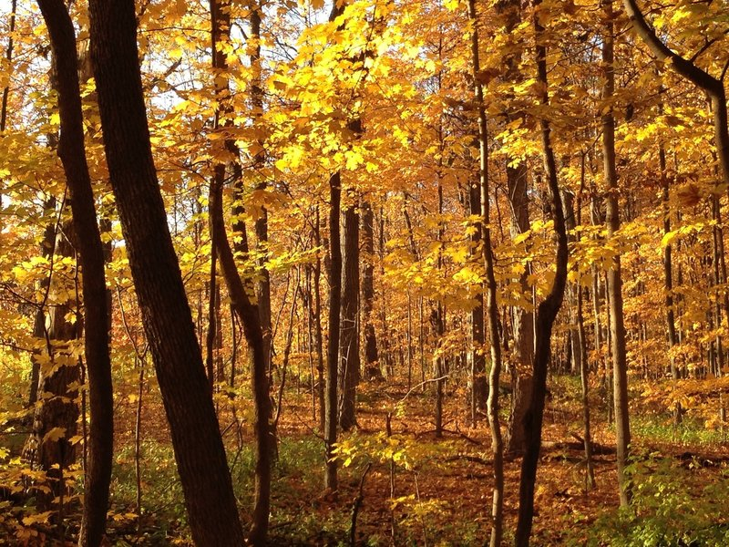 Gold colors in the Morton Arboretum.