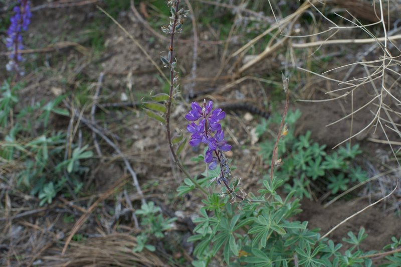 Flowers can be found along the trail, even in the fall. This Blue-pod Lupine was photographed in November, as the area is warmer than Yosemite Valley and flowers are in bloom later in the season.