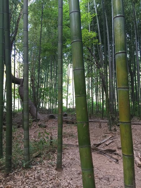 The little bamboo forest right by the river.