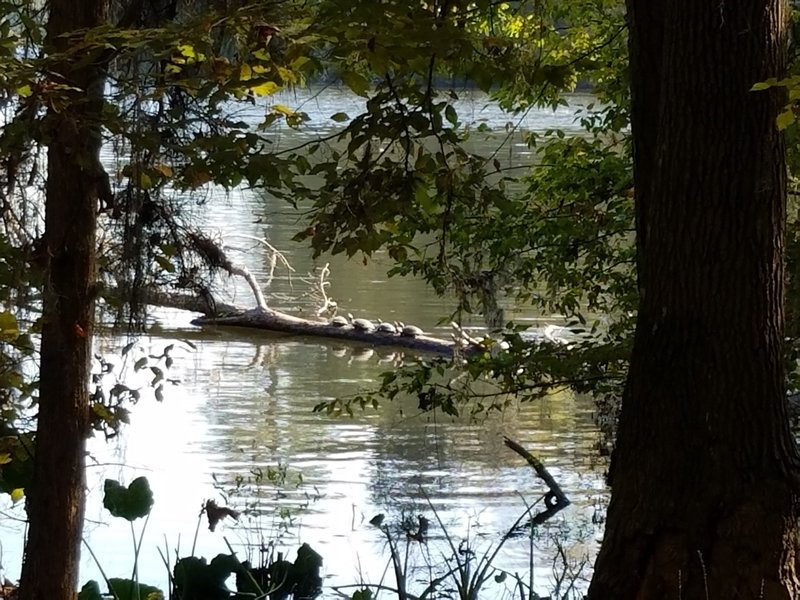 Peek out through the trees to a turtle-covered log.